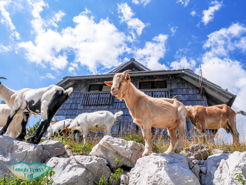 mountain goats around vogel ski center bohinj slovenia - laugh travel eat