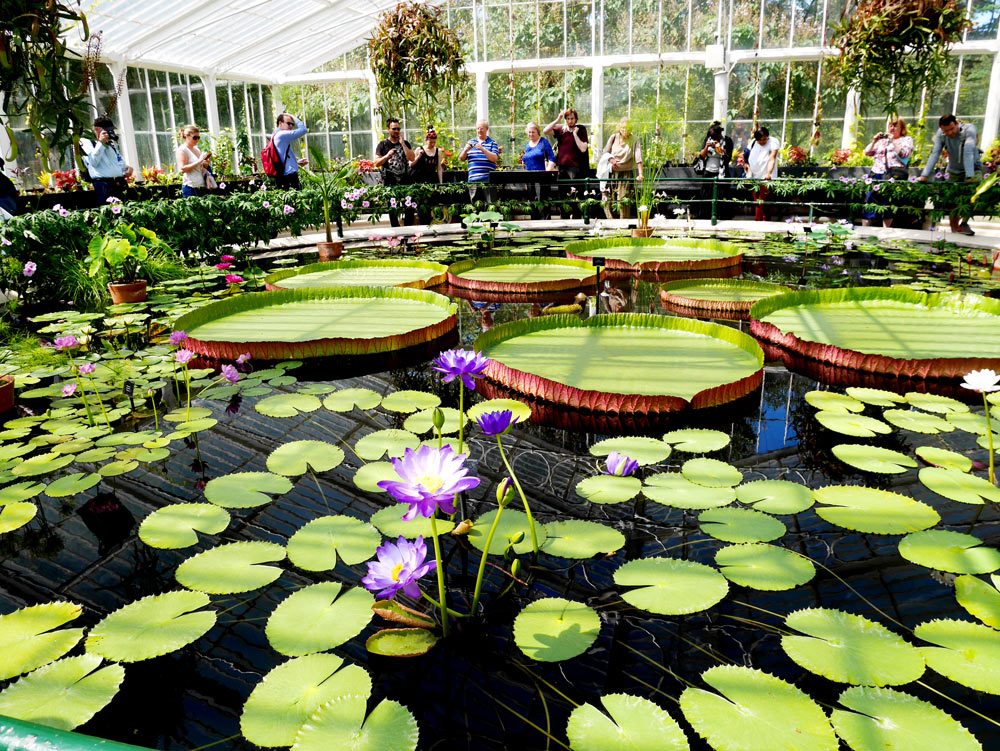 Lily pads in the pond at waterlily greenhouse, Kew Garden, London, UK | Laugh Travel Eat