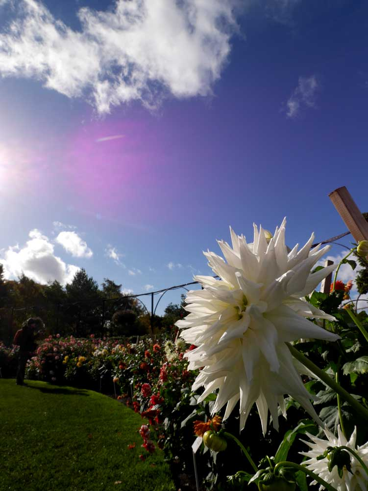 A beautiful Dahlia garden in Dublin National Botanic Garden, Dublin, Ireland | Laugh Travel Eat