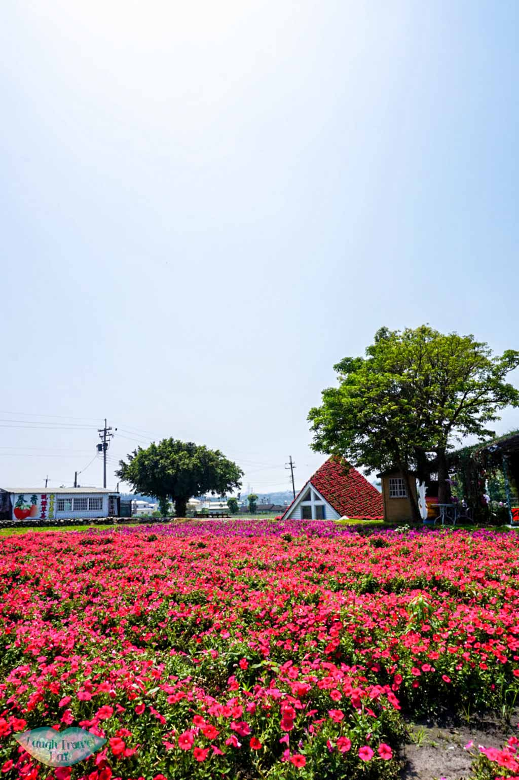 pink and purple flower field at Taichung Taiwan | Laugh Travel Eat