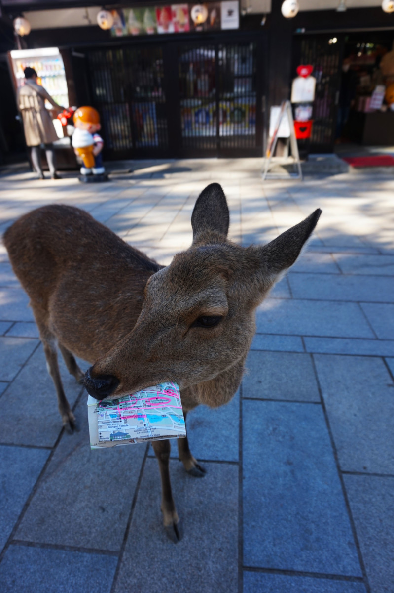 Nara deer eating a map at Nara Deer Park | Laugh Travel Eat