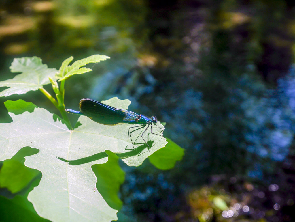 blue dragonfly spotted in krka national park croatia