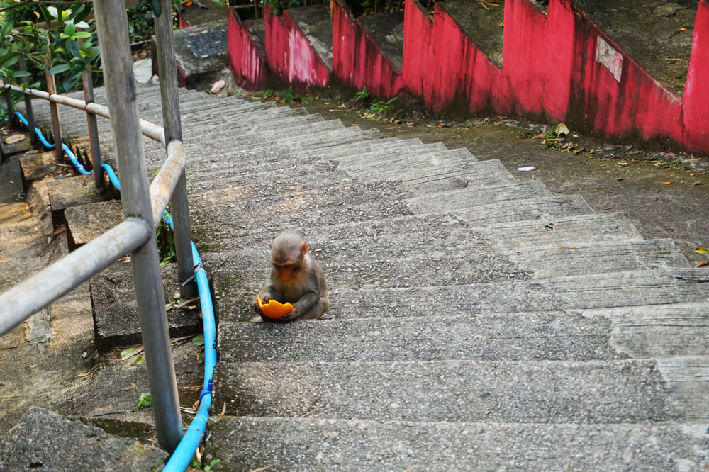 A monkey spotted walking up to ten thousand buddhas monastery, Shatin, Hong Kong | Laugh Travel Eat