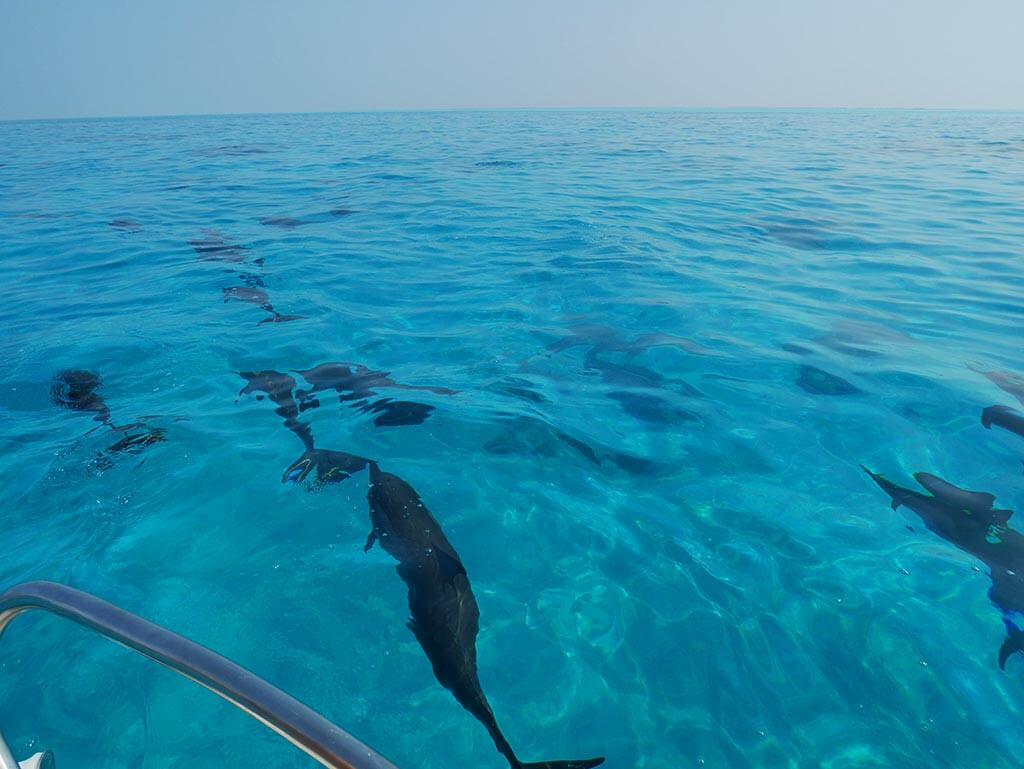 A pod of dolphins near Gaafaru, Maldives