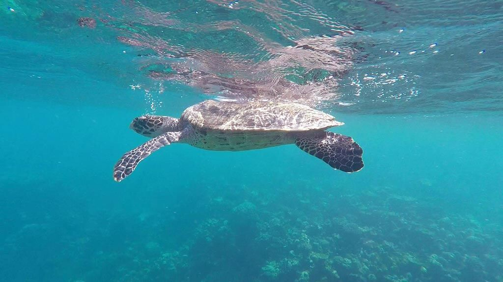 Turtle spotted on snorkelling trip with Mirian Sky Hotel, Maldives | Laugh Travel Eat