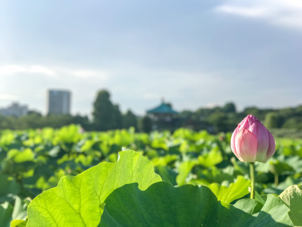 portrait mode shinobazu single lotus facing temple taito tokyo, Japan | Laugh Travel Eat