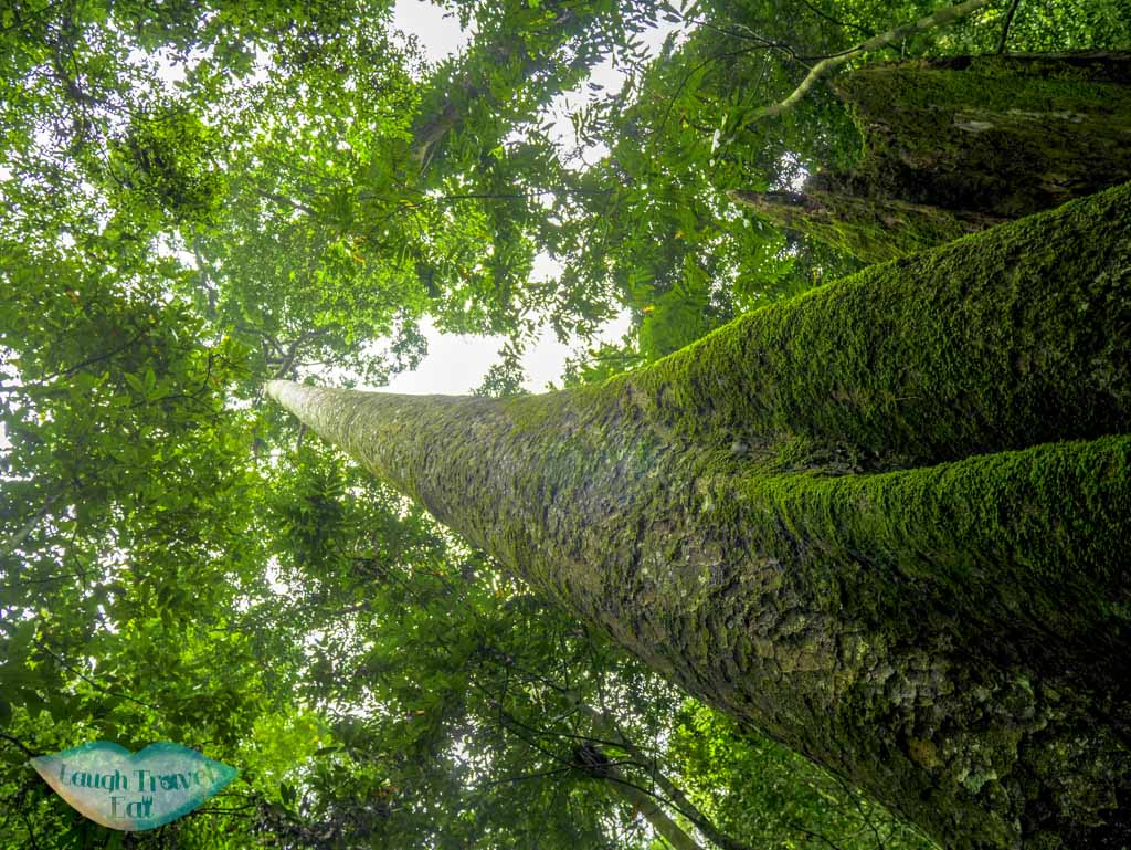 tallest-living-tree-at-cuc-phuong-national-park-ninh-binh-vietnam-Laugh-Travel-Eat