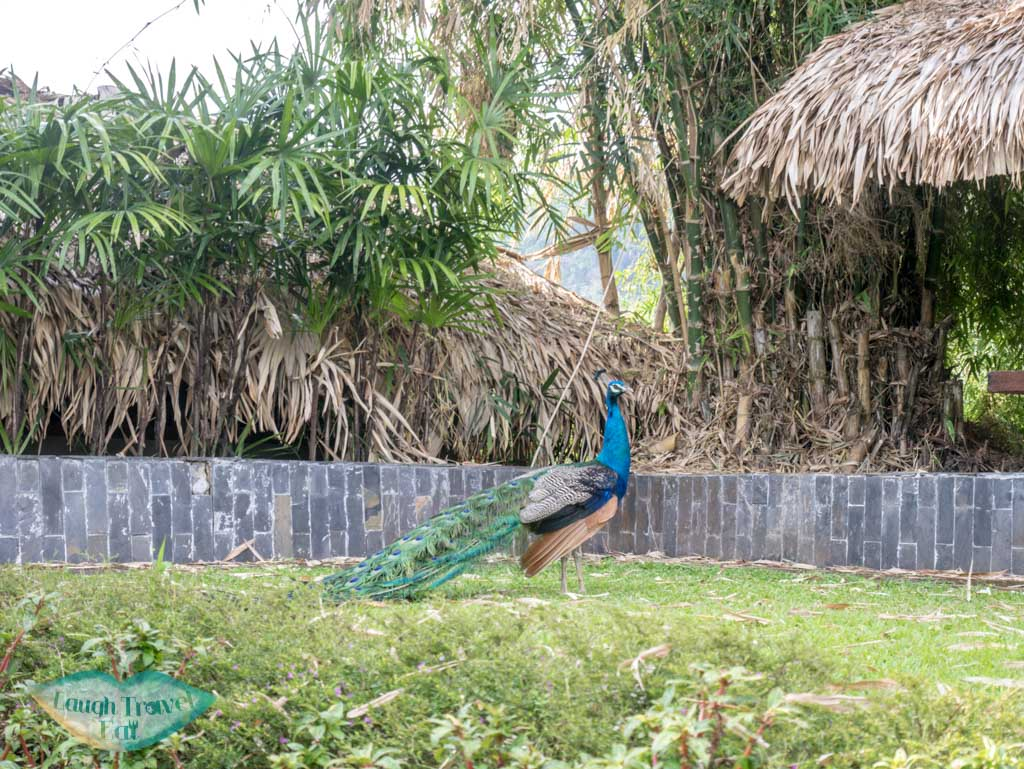 resident-peacock-Panviman-Spa-Chiang-Mai-Thailand-laugh-travel-eat