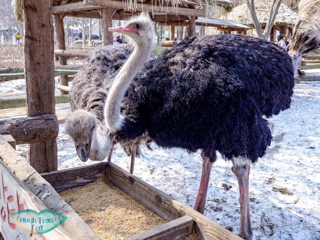 ostrich-nami-island-gangwon-south-korea-laugh-travel-eat