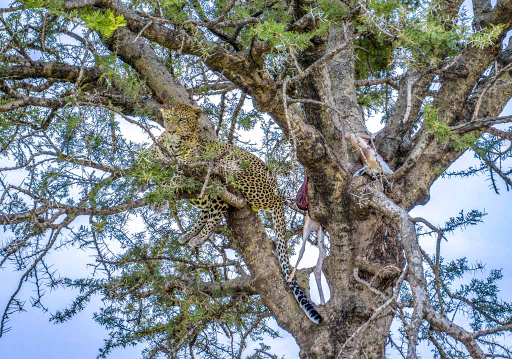 cheetah on trees serengeti national park tanzania - laugh travel eat