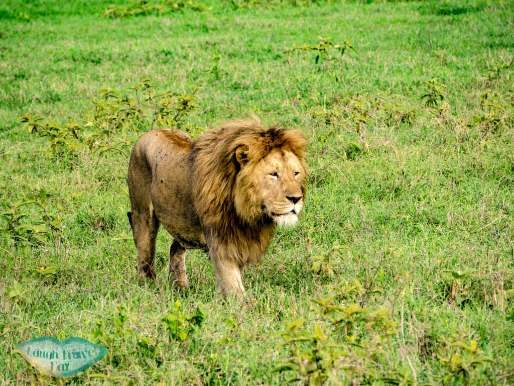 close up lion ngorogoron national park tanzania africa - laugh travel eat