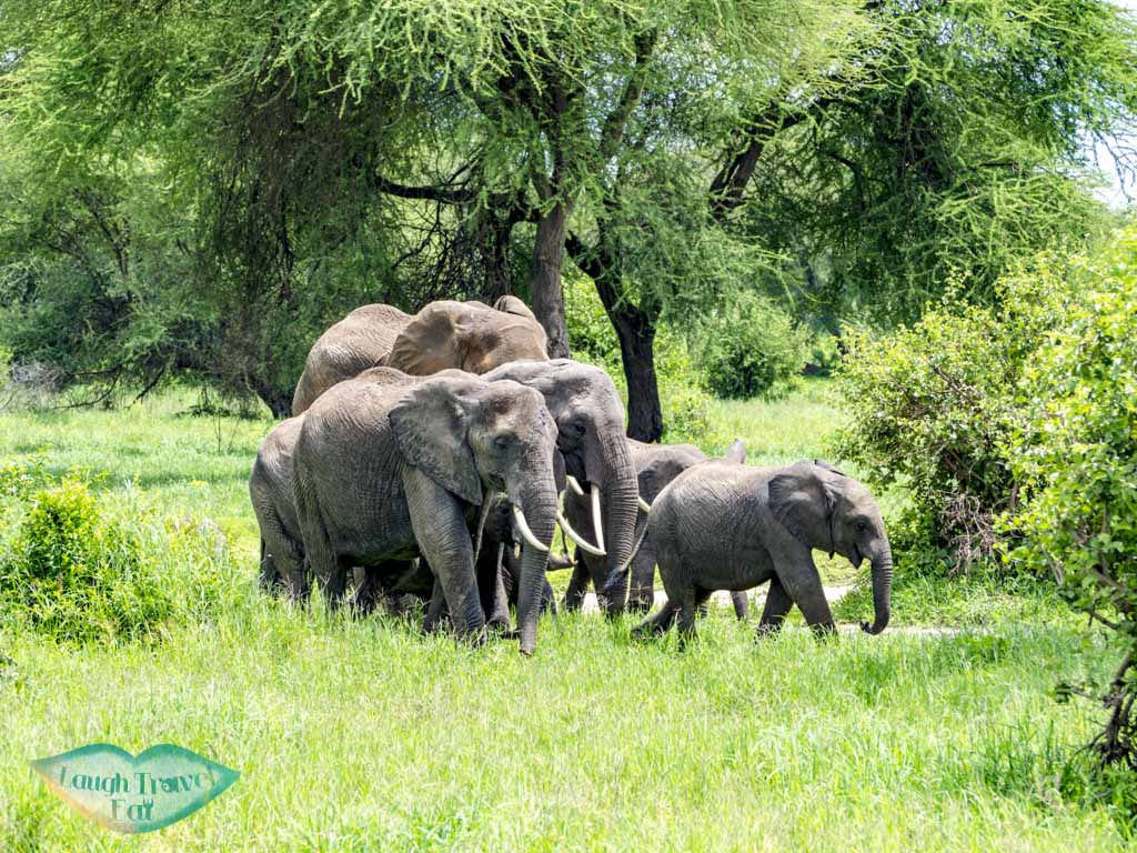 elephants in tarangeri national park tanzania - laugh travel eat