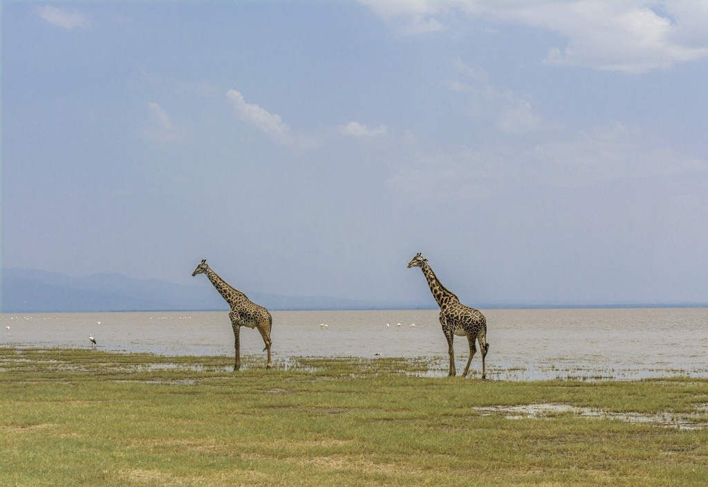 giraffe in lake manyara national park tanzania - laugh travel eat