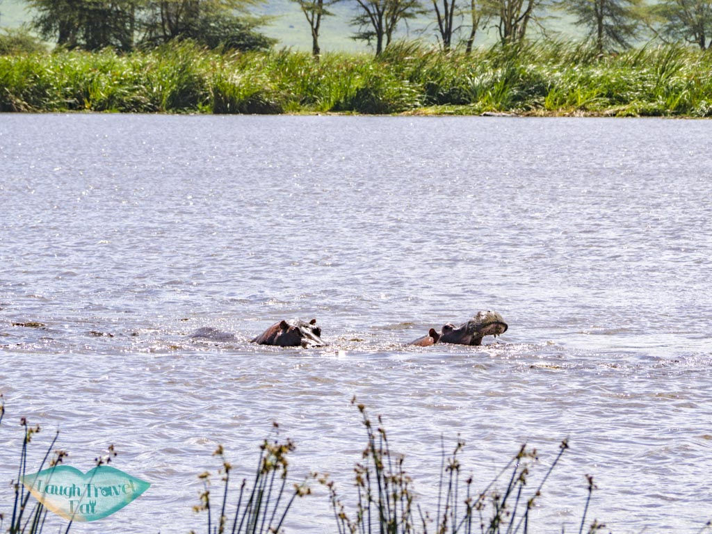 hippos ngorogoron national park tanzania africa - laugh travel eat