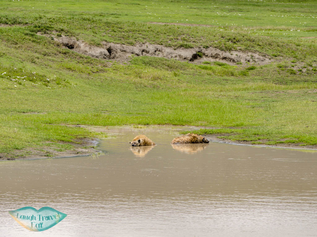 hyenas ngorongoro national park tanzania - laugh travel eat