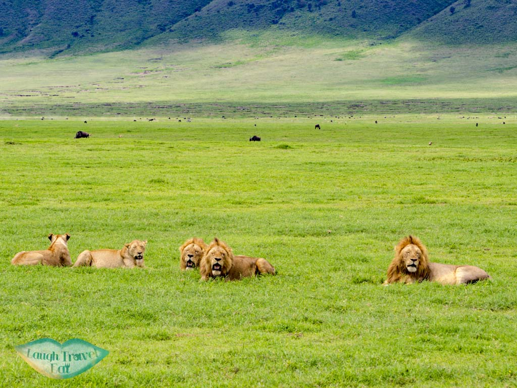 lion herds ngorogoron national park tanzania africa - laugh travel eat
