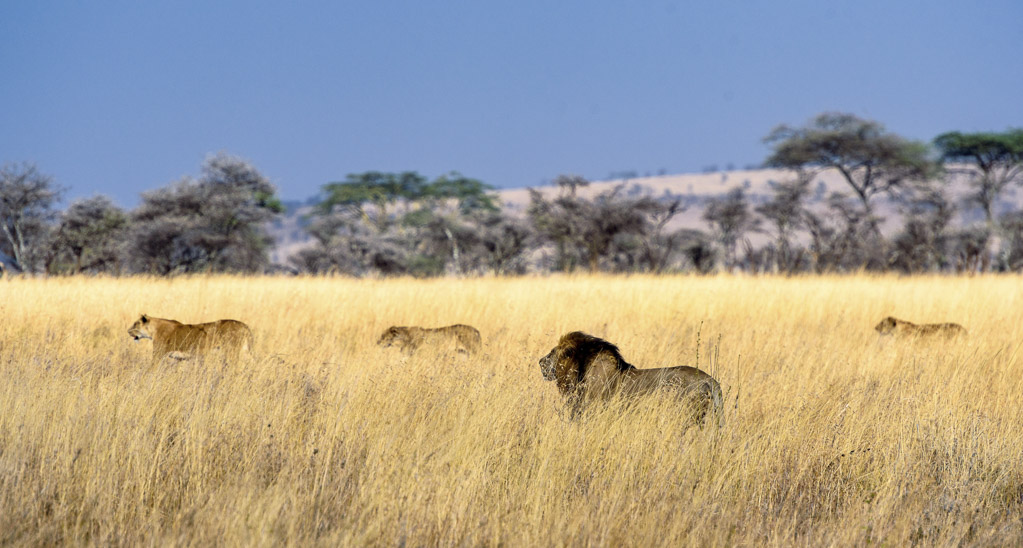 lions in serengeti national park tanzania - laugh travel eat