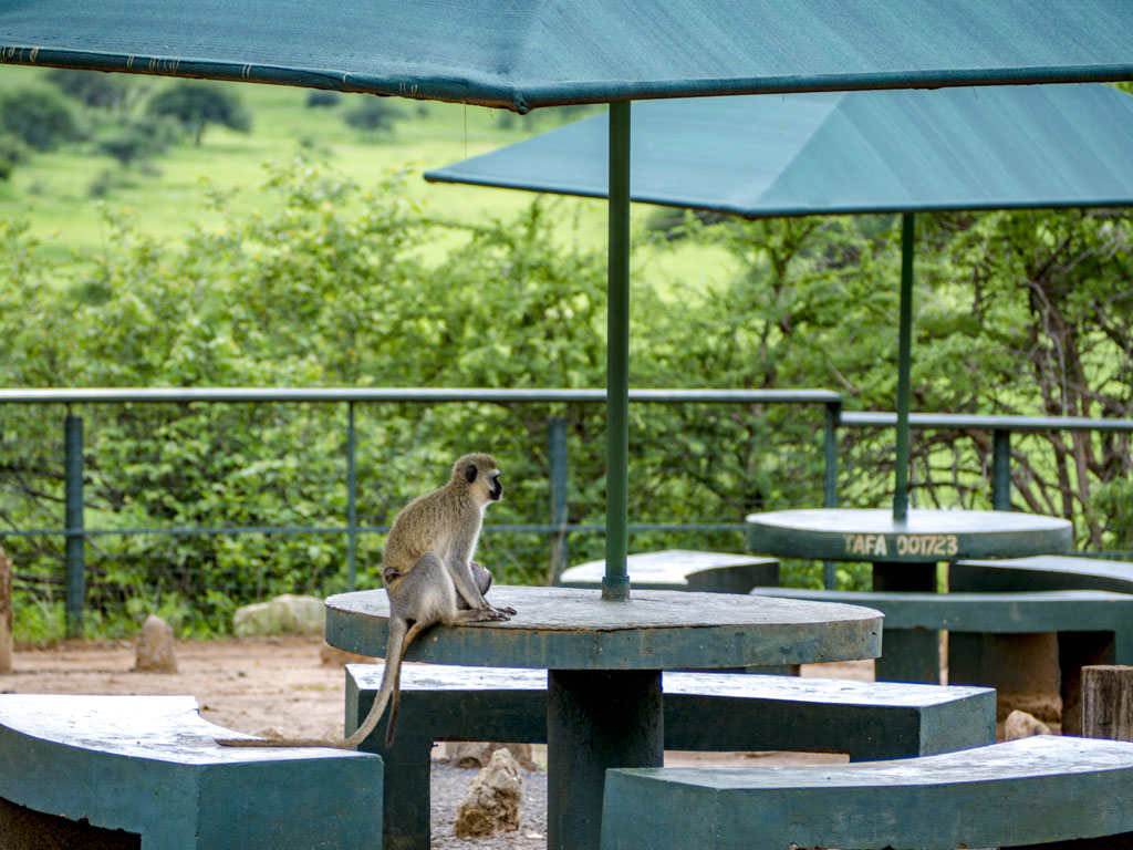 monkies matete picnic site tarangeri national park tanzania africa - laugh travel eat