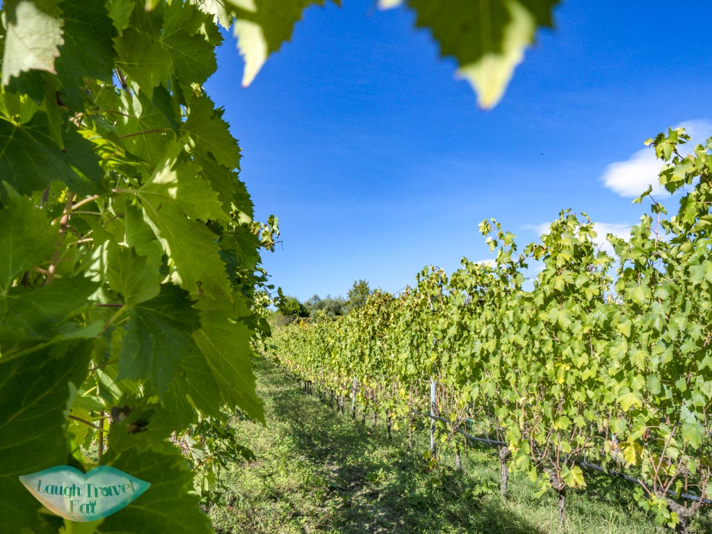 vineyard Podere Lesignano san marino italy - laugh travel eat