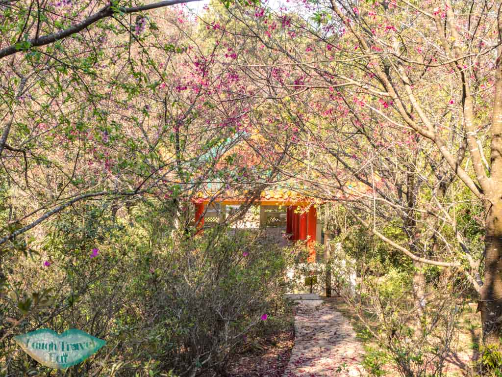 cherry blossoms in T.S. Woo Pavilion kadoorie farm tai po hong kong - laugh travel eat