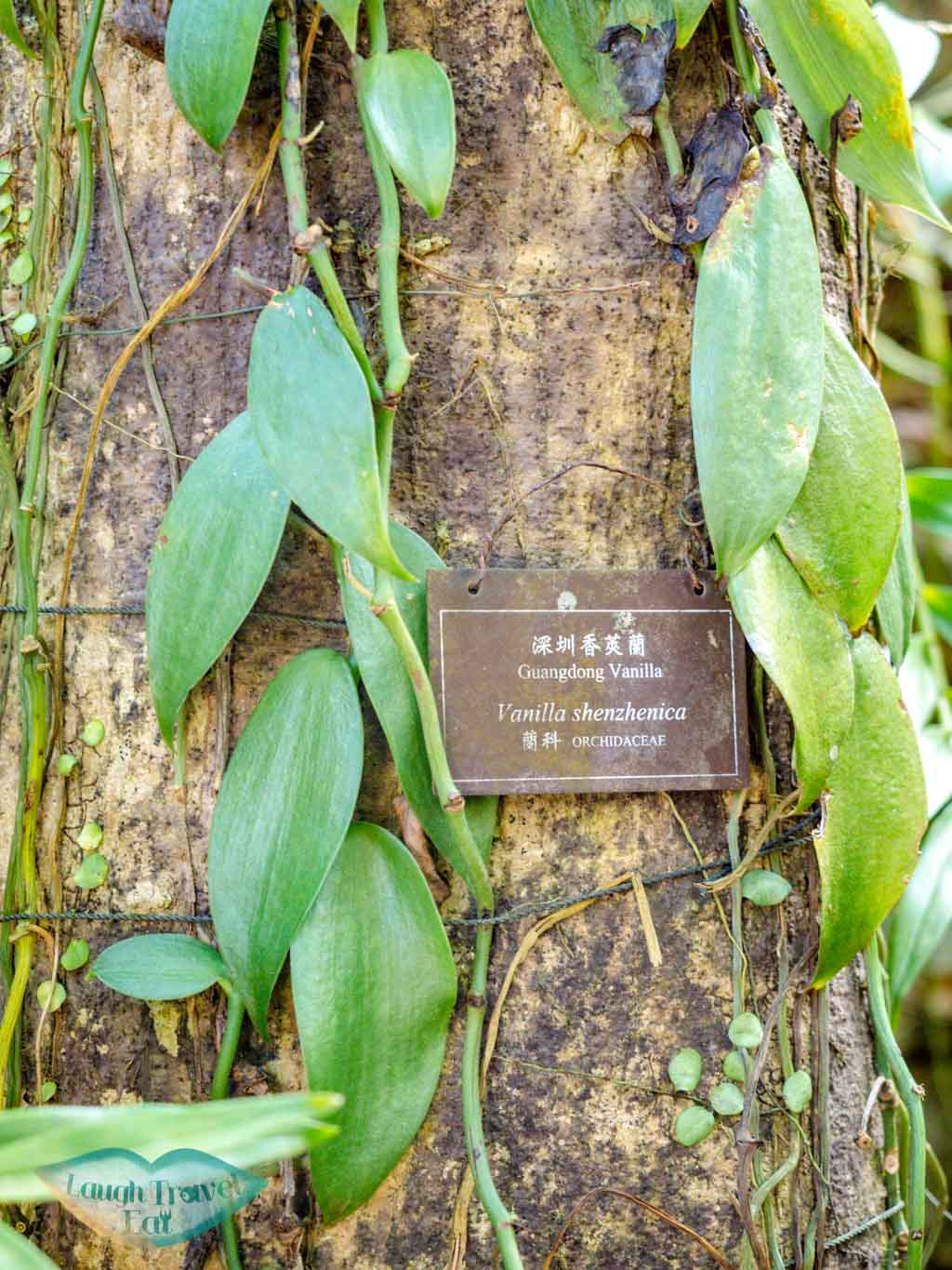 vanilla The Gloria Barretto Orchid Sanctuary lower nature reserve kadoorie farm tai po hong kong - laugh travel eat